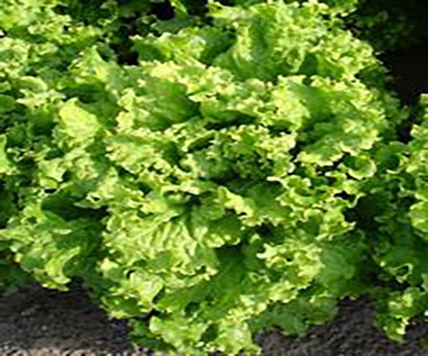 salotų sėklos