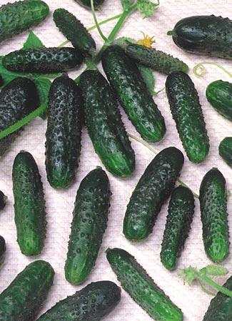 agurkų sėklos