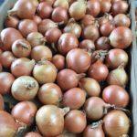 sėklos svogūnų