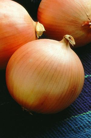 sėklos svogūnai