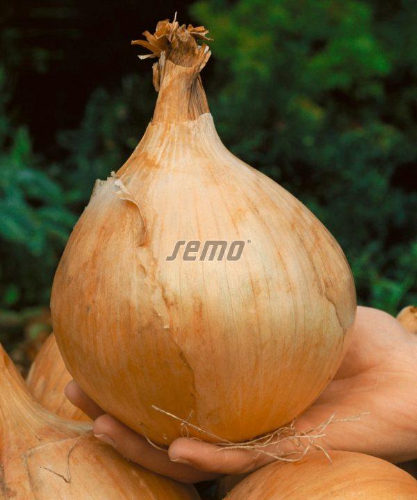 svogūnų sėklos